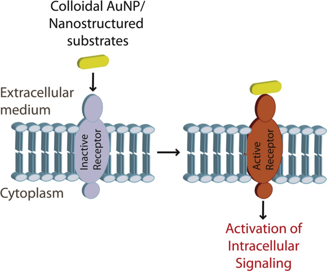 Gold Nanoparticles for Regulation of Cell Function and Behaviour